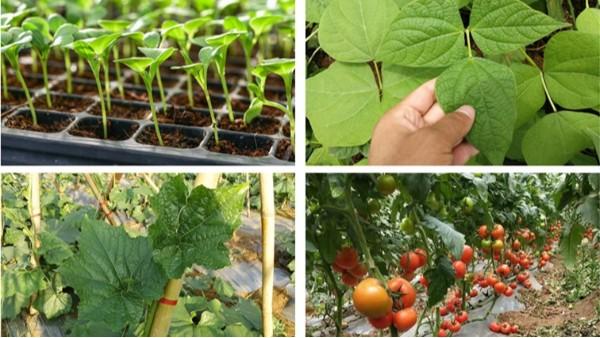大棚蔬菜黄叶怎么办?看看你中了哪几招