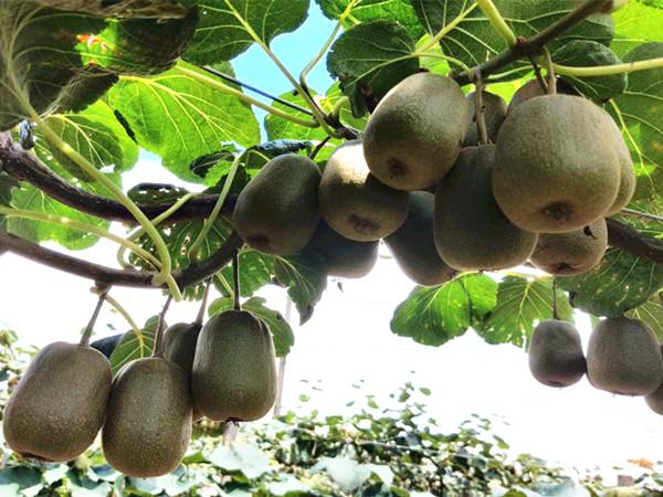 猕猴桃用什么肥料好?如何解决落果、裂果问题