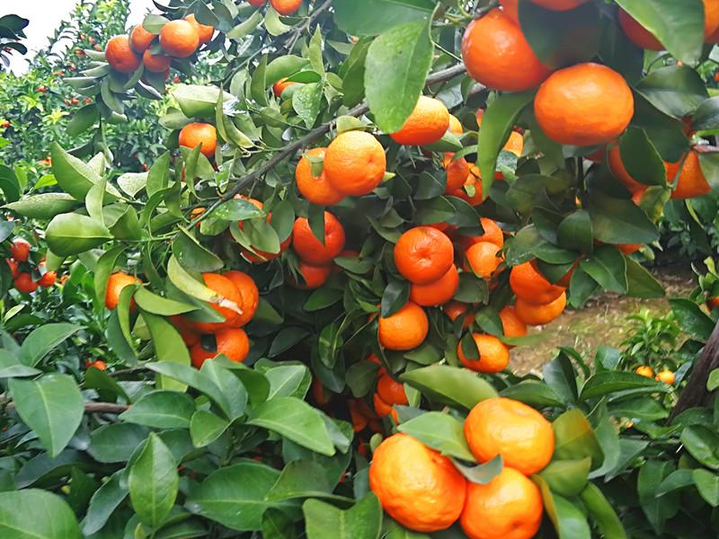 磷酸二氢钾怎么使用-柑橘