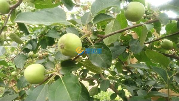 高钾水溶肥,苹果膨果就选宴沃