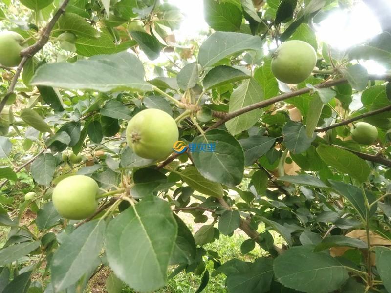 高钾水溶肥在苹果上使用