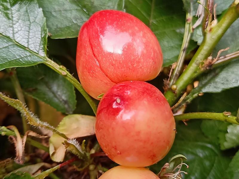 磷酸二氢钾-樱桃