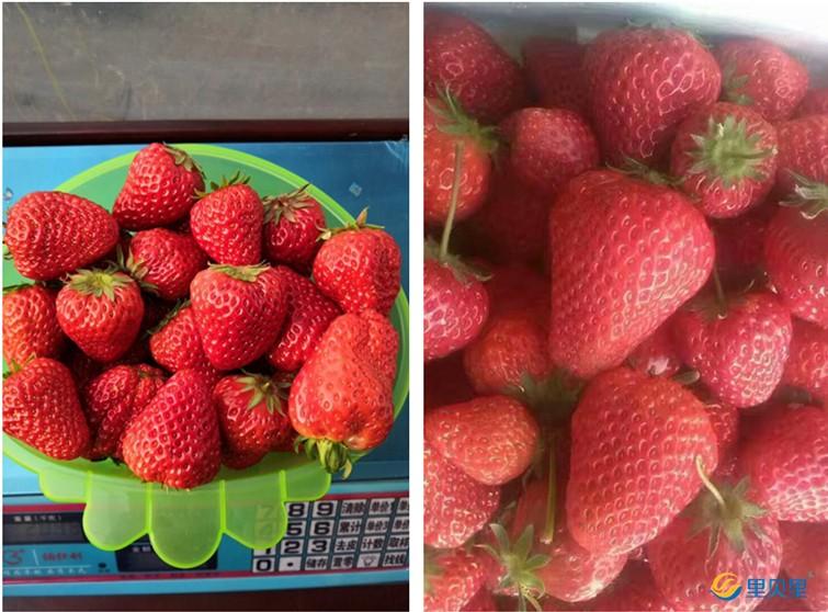 里贝里水溶肥在草莓上使用