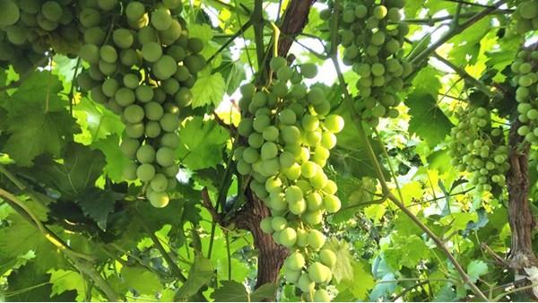 葡萄树施什么肥料,科学施肥是关键