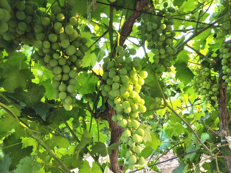 葡萄树施什么肥料