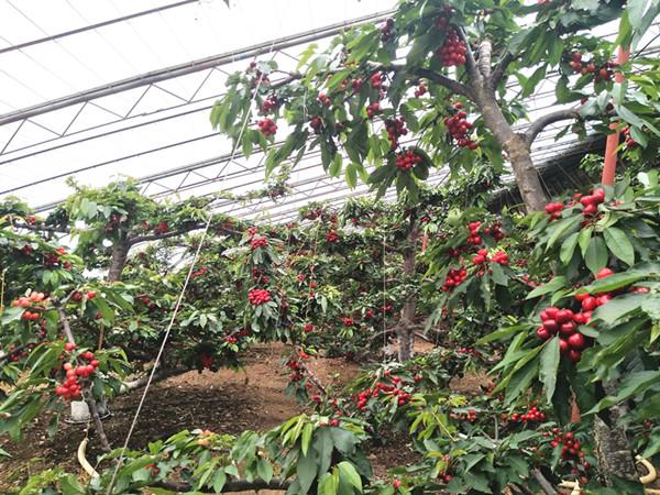 樱桃树施什么肥?