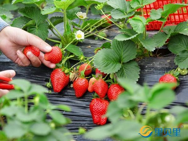 水溶肥在草莓上怎么使用?