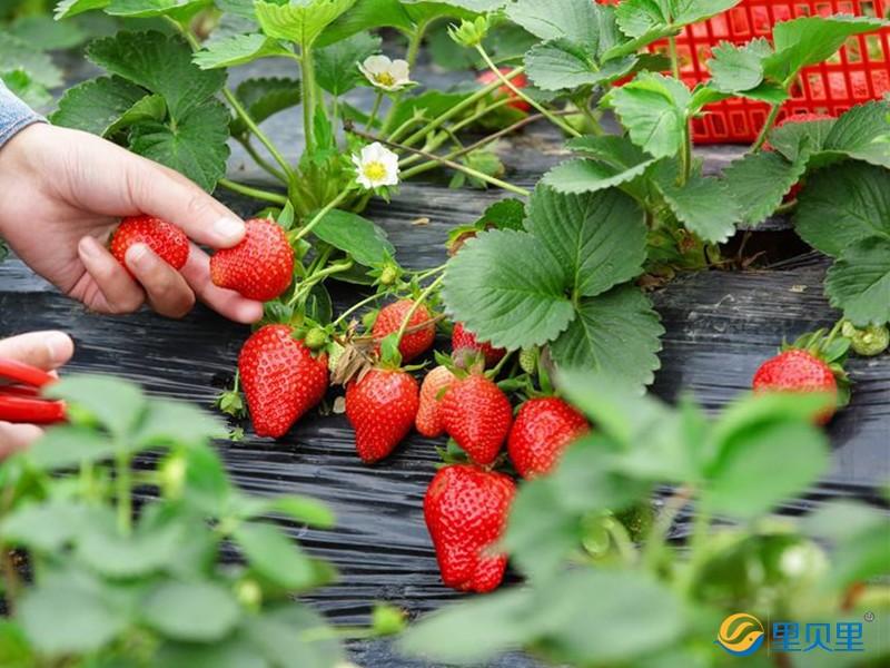草莓施肥用什么肥料好