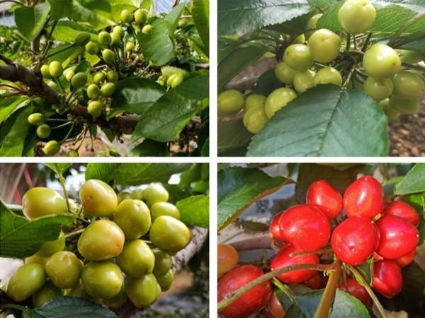 大樱桃施肥你真的会吗?尤其基肥很重要