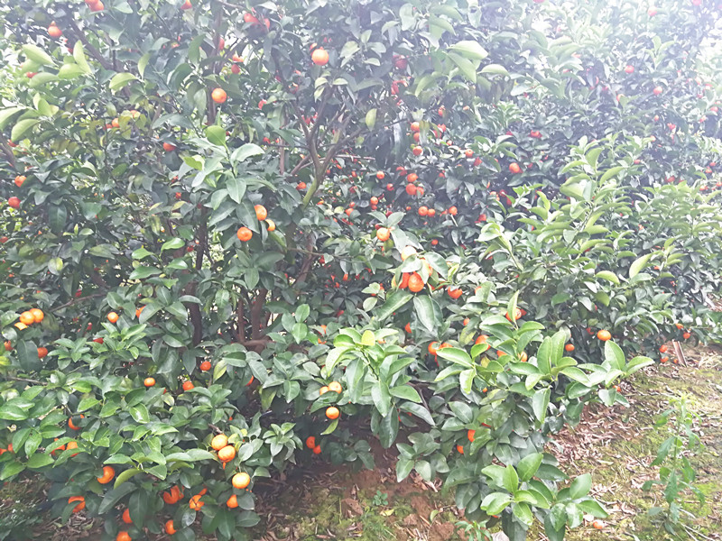 微生物菌剂前十名-柑橘