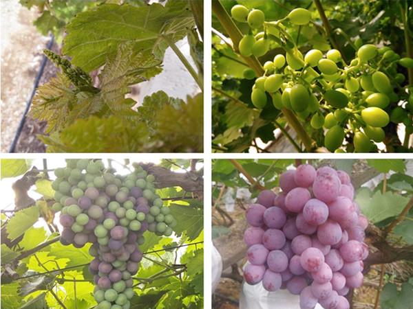 高钾水溶肥,葡萄膨果就选宴沃