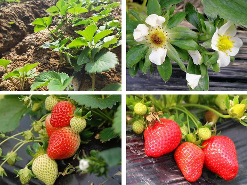 草莓需要什么肥料