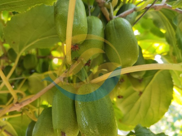 果树管理-宴沃软枣
