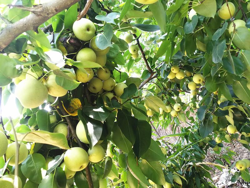 生根剂-梨树