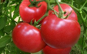 番茄使用里贝里后
