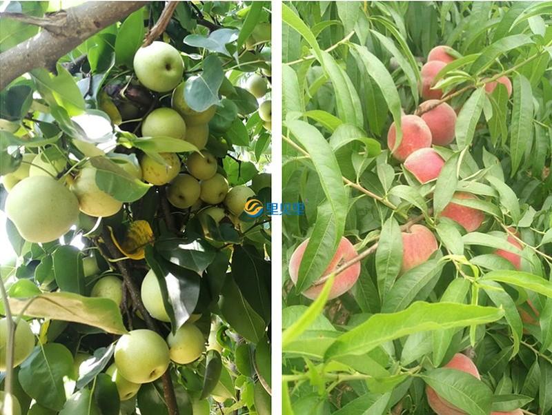 宴沃水溶肥在果树上使用