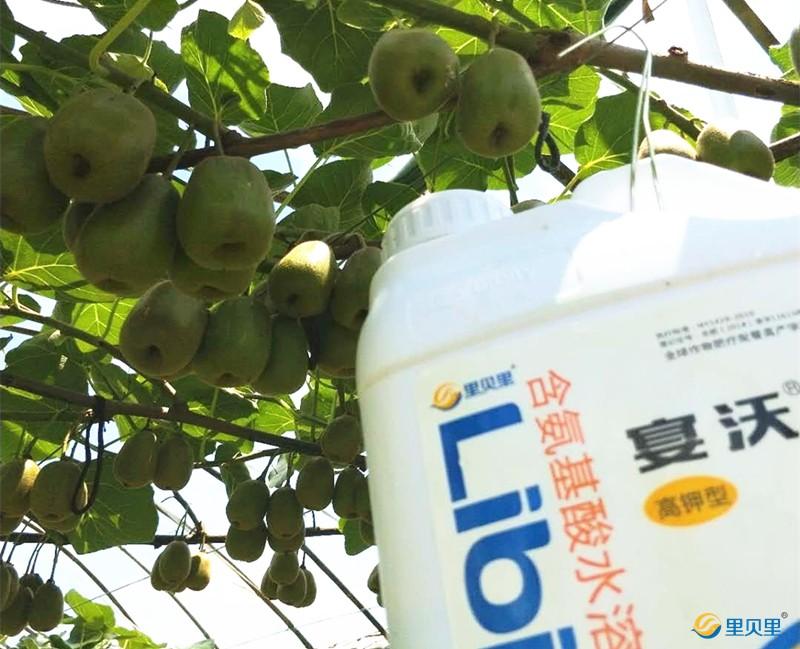 果树冬季施肥哪种肥好-猕猴桃