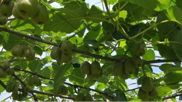 猕猴桃膨大期用什么肥好?