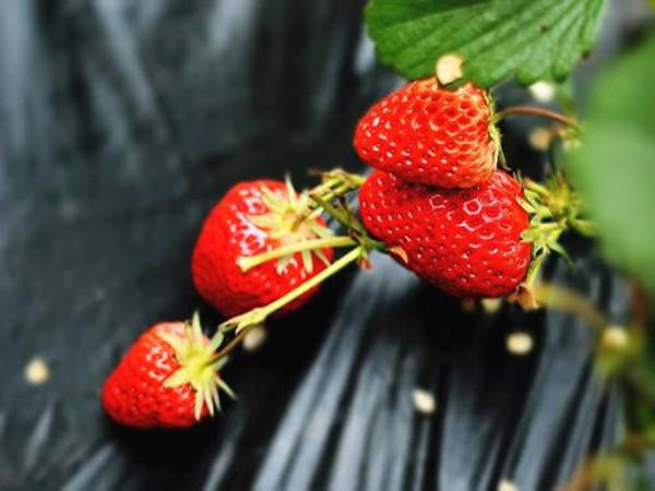 草莓专用肥,让施肥更简单