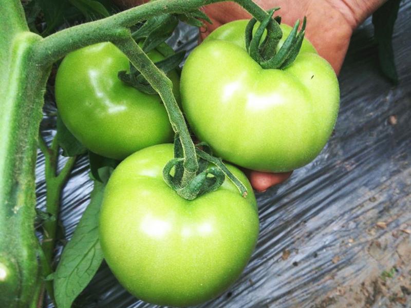 西红柿肥料