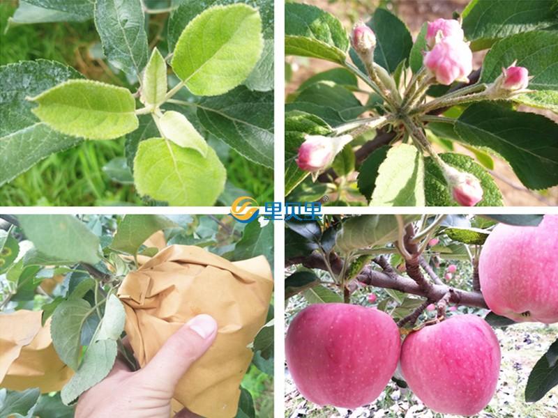 高钾水溶肥-苹果
