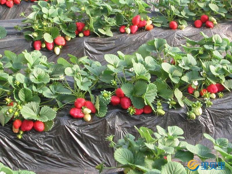 生根剂-草莓