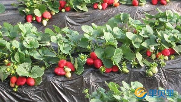 生根剂用的好,草莓才能长得好