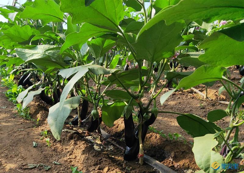 里贝里水溶肥在茄子上使用