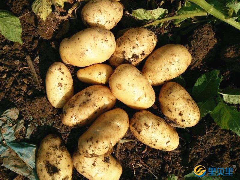 马铃薯专用水溶肥