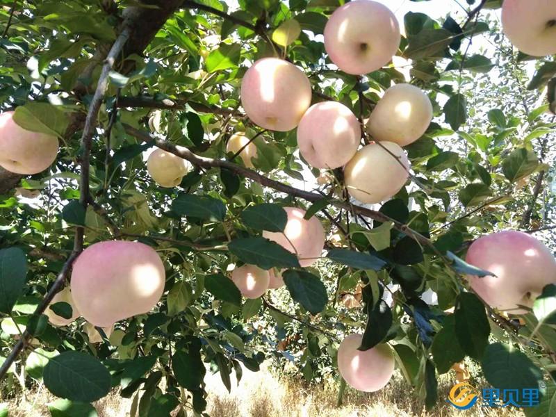 果树月子肥-苹果