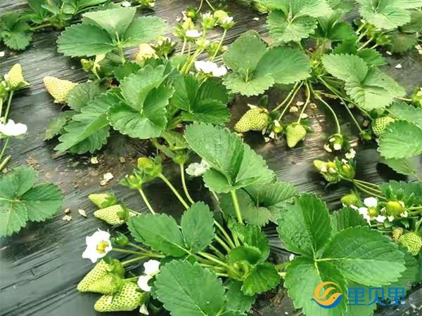 草莓施肥用什么肥料好?一篇文章告诉你