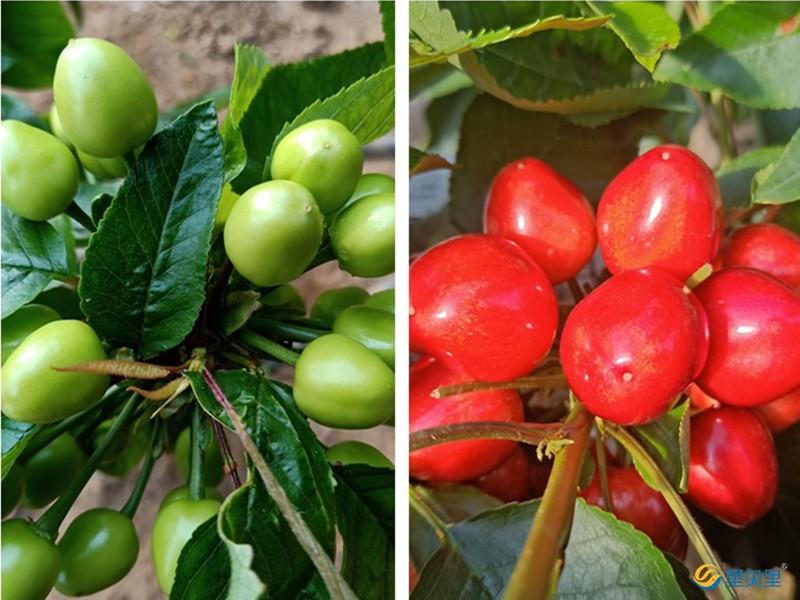 樱桃怎么施肥产量高