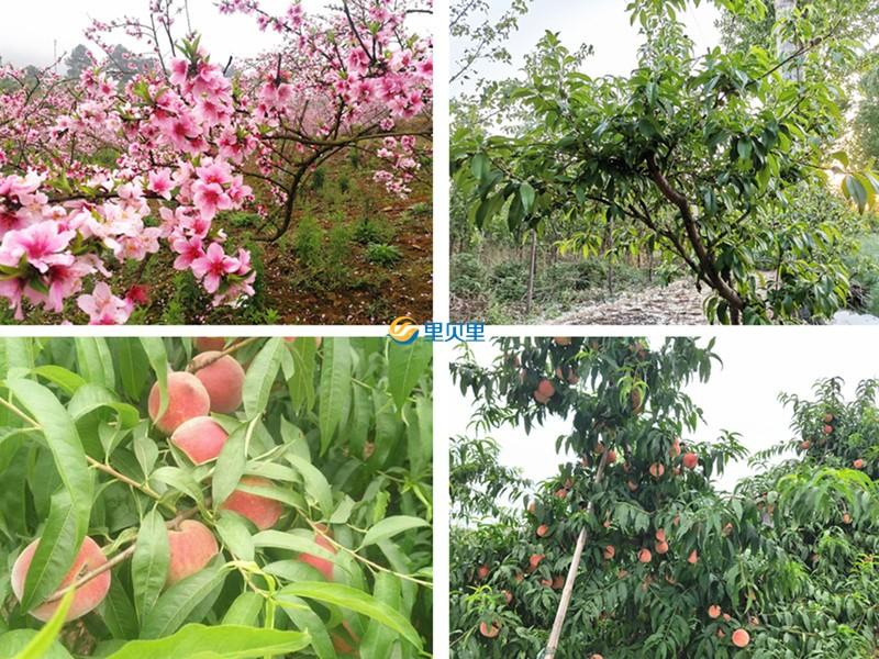 桃树用什么肥料好?