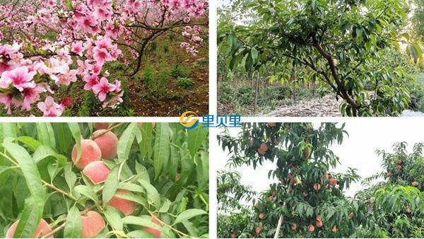 桃树用什么肥料好?看完本文你就会了