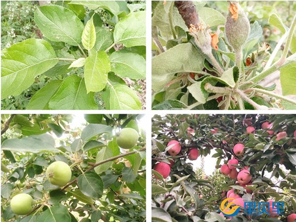 苹果施肥这点很关键,果农一定要看