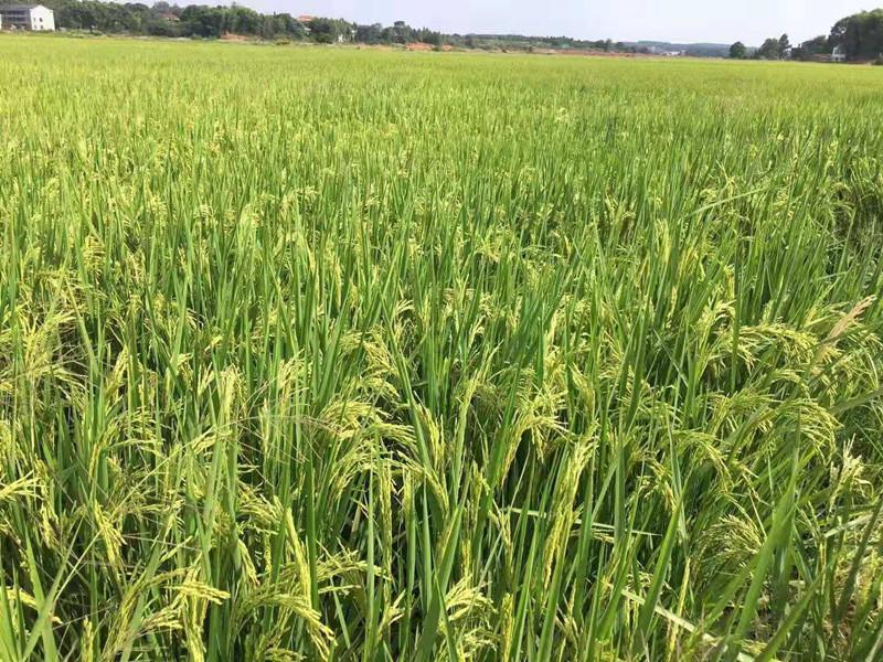 水稻喷施磷酸二氢钾
