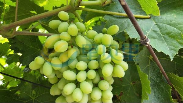 葡萄种植施肥套餐来了!