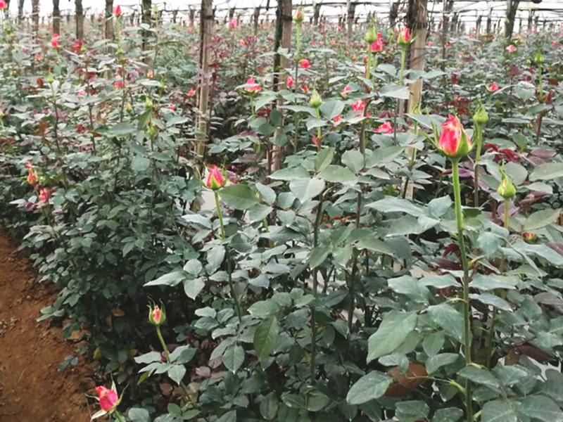 花卉生根剂