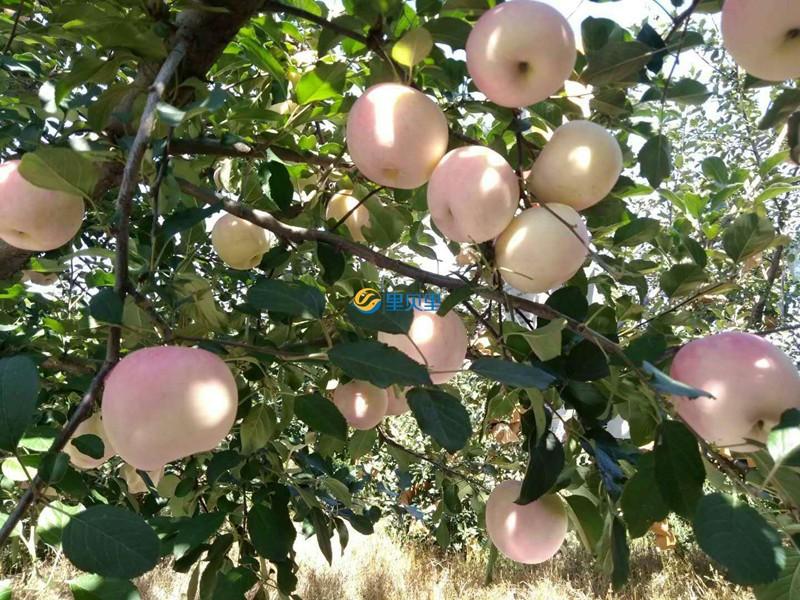 果树怎么施肥