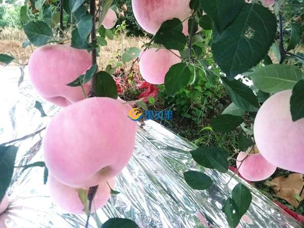 苹果树用什么肥料好?