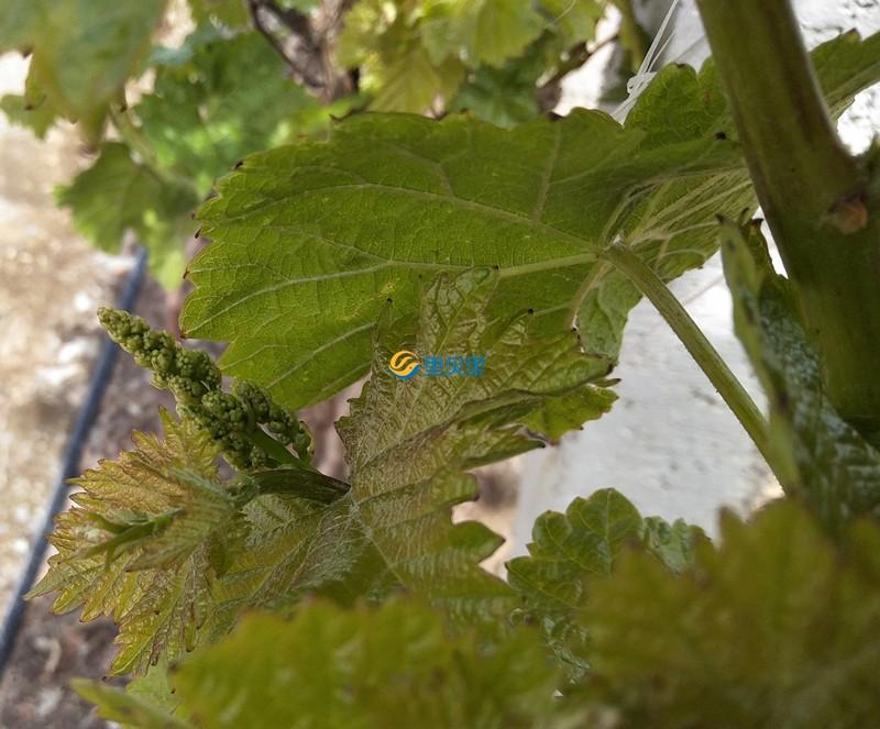 葡萄用肥-以翠