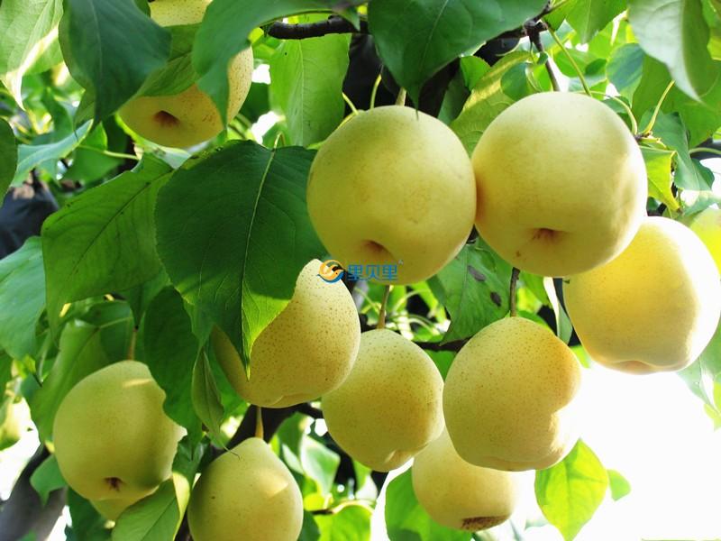 畸形梨使用宴沃水溶肥效果