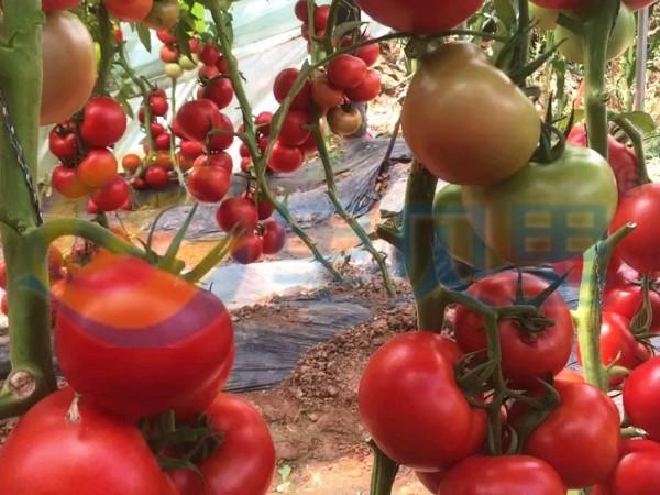 水印-宴沃番茄
