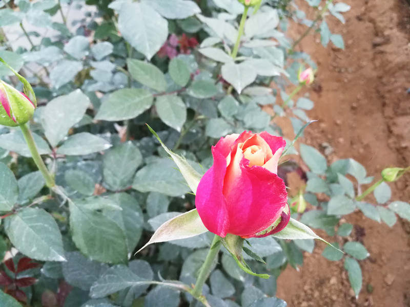 磷酸二氢钾-玫瑰