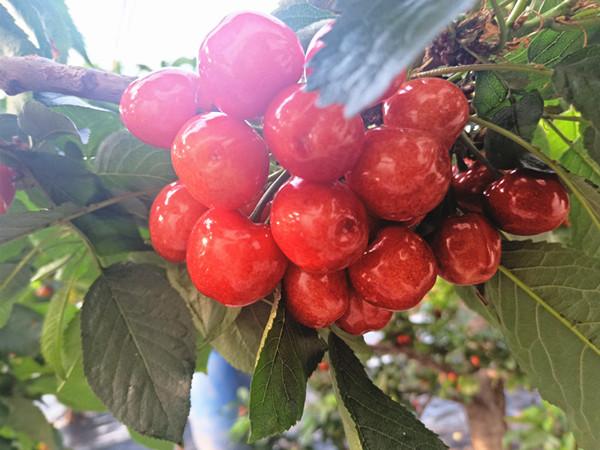 选对水溶肥,樱桃高产不再是难题!