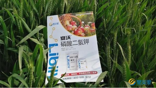 小麦冬季管理技术,里贝里助你高产