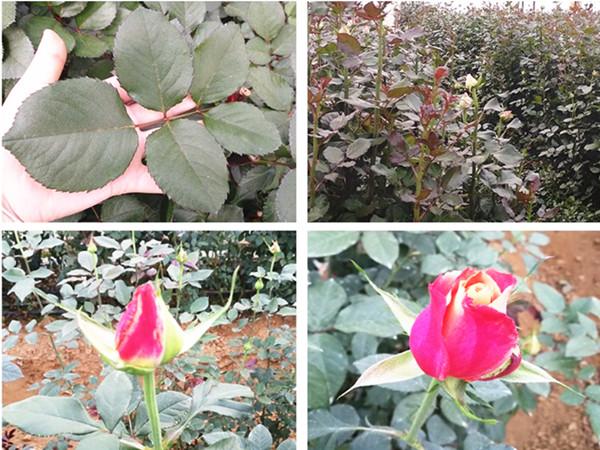 玫瑰施肥用什么肥料?