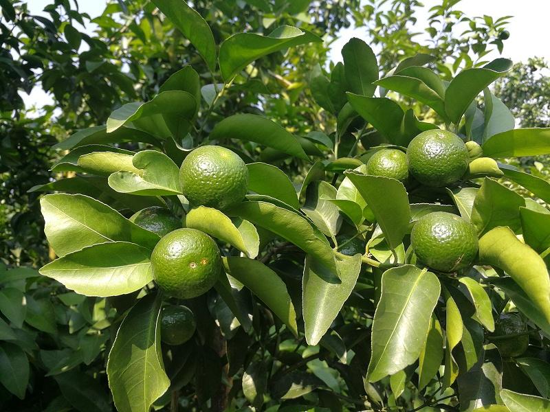 水溶肥-柑橘 (1)