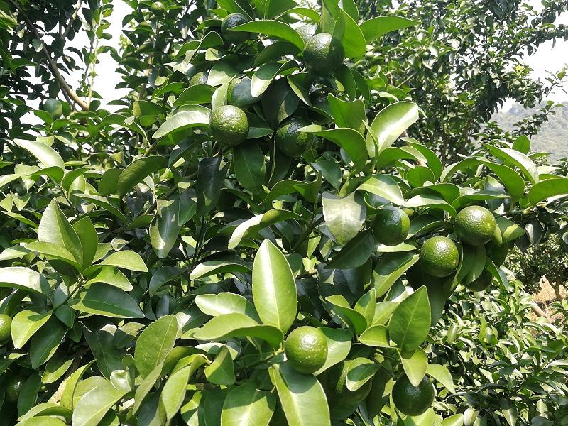 水溶肥-柑橘 (2)
