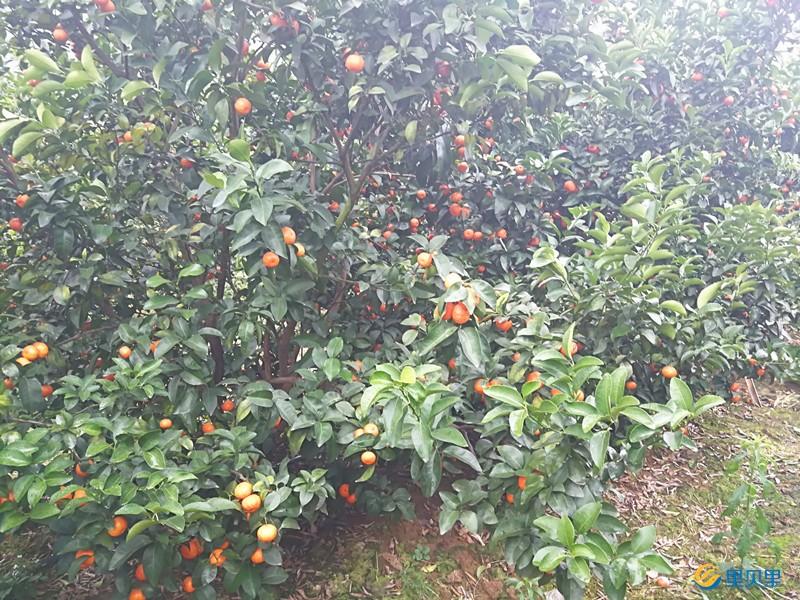 颗粒水溶肥怎样使用效果好-柑橘